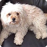 Adopt A Pet :: Penny - Van Nuys, CA