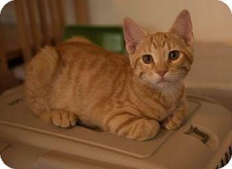 Domestic Shorthair Kitten for adoption in Schertz, Texas - Barney TG