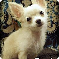 Adopt A Pet :: Bandit - Anaheim Hills, CA