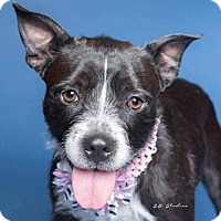 Adopt A Pet :: Addie - Boston, MA