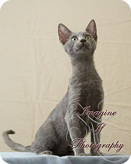 Russian Blue Cat for adoption in Crescent, Oklahoma - Violet