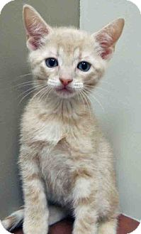 Domestic Shorthair Kitten for adoption in Hinsdale, Illinois - ADOPTED!!!   Adonis
