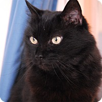 Domestic Longhair Cat for adoption in Winchendon, Massachusetts - Clara