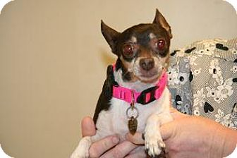 Chihuahua Mix Dog for adoption in Wildomar, California - Cookie