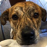 Adopt A Pet :: Serena - Bronx, NY