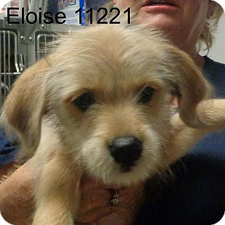 Golden Retriever/Dachshund Mix Puppy for adoption in Alexandria, Virginia - Eloise
