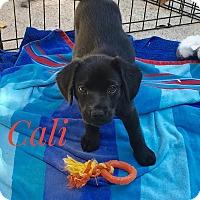 Adopt A Pet :: Cali - Milton, GA