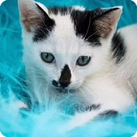 Domestic Shorthair Kitten for adoption in Spring, Texas - Gomez