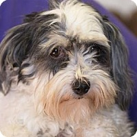 Havanese Dog for adoption in Colorado Springs, Colorado - Tamara