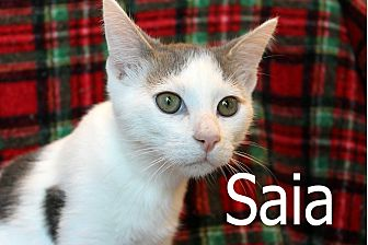 Domestic Shorthair Kitten for adoption in Wichita Falls, Texas - Saia