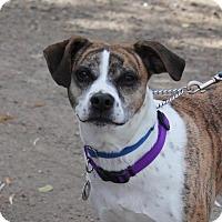 Adopt A Pet :: Petey - Denver, CO