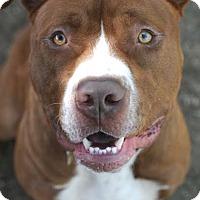 American Pit Bull Terrier Mix Dog for adoption in Eugene, Oregon - Baron