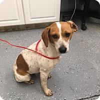 Adopt A Pet :: Callie - Media, PA