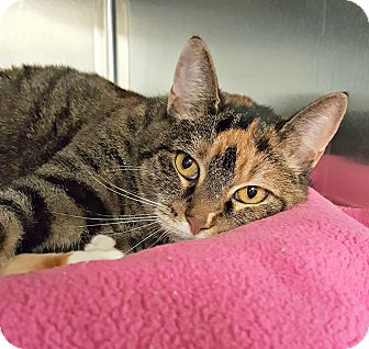 Domestic Shorthair Cat for adoption in Chesapeake, Virginia - Ripley