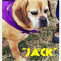 Pug/Beagle Mix Dog for adoption in Seaford, Delaware - Jack