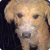 Adopt A Pet :: Maple - Santa Fe, TX