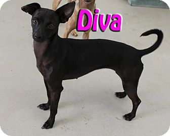 Chihuahua Mix Dog for adoption in Midland, Texas - Diva
