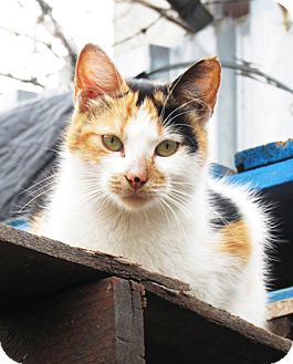 Calico Cat for adoption in Brooklyn, New York - Simona