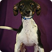 Adopt A Pet :: Atom - Broomfield, CO