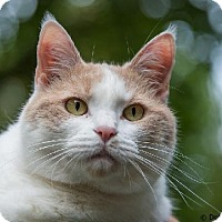 Domestic Shorthair Cat for adoption in Herndon, Virginia - Celeste