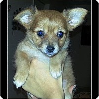 Adopt A Pet :: Midgie - Rancho Cucamonga, CA