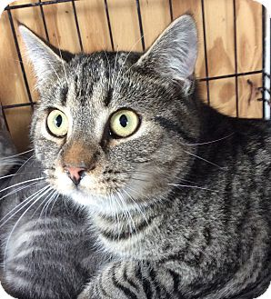 Domestic Shorthair Cat for adoption in Breinigsville, Pennsylvania - Grizzley