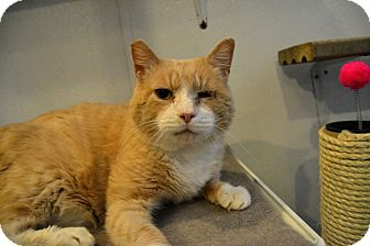 Domestic Shorthair Cat for adoption in Broadway, New Jersey - Kermit