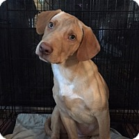 Adopt A Pet :: Curry - Richmond, VA