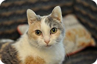 Domestic Shorthair Cat for adoption in Hanna City, Illinois - Zinfandel