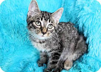 Domestic Shorthair Kitten for adoption in Muskegon, Michigan - Rollo