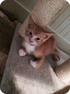 American Shorthair Kitten for adoption in Big Canoe, Georgia - Ruby