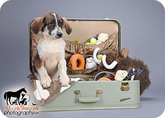 Border Collie/Spaniel (Unknown Type) Mix Puppy for adoption in Effort, Pennsylvania - Kyle