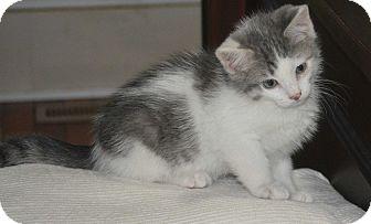 Russian Blue Kitten for adoption in Winchester, Kentucky - Costello