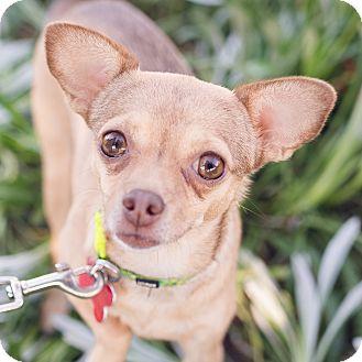 Chihuahua Mix Dog for adoption in Oakley, California - Greta