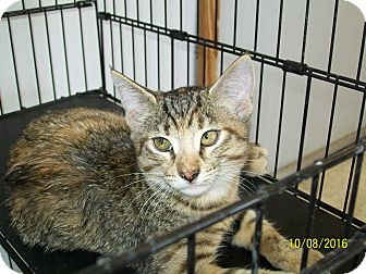 Domestic Shorthair Cat for adoption in Mexia, Texas - Liberty