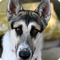 Adopt A Pet :: Stunning SKYE - Studio City, CA