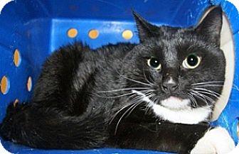Domestic Shorthair Cat for adoption in Wildomar, California - 323395