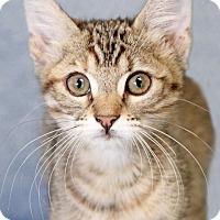 Adopt A Pet :: Hop Scotch - Encinitas, CA