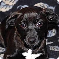 Adopt A Pet :: Joy - Portola, CA