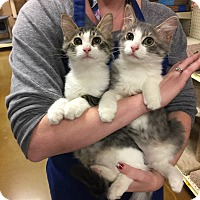 Maine Coon Kitten for adoption in Rocklin, California - Sea Ray
