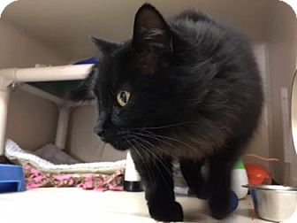 Domestic Longhair Cat for adoption in Fort Collins, Colorado - Hoody