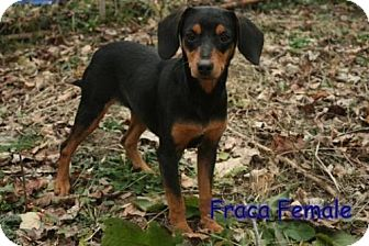 Feist Mix Puppy for adoption in Danbury, Connecticut - Fraca