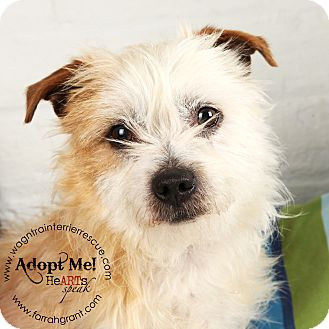 Cairn Terrier/Chihuahua Mix Dog for adoption in Omaha, Nebraska - JD