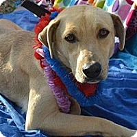Rhodesian Ridgeback/Labrador Retriever Mix Dog for adoption in San Diego, California - Nene