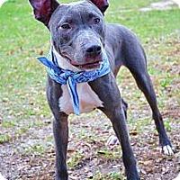 Adopt A Pet :: Batman - Orlando, FL