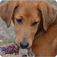 Adopt A Pet :: Misty - New Boston, NH
