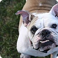 Adopt A Pet :: Karma - Chicago, IL