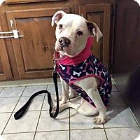 Adopt A Pet :: Daisy - Southampton, PA