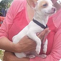 Adopt A Pet :: GINNY - Phoenix, AZ