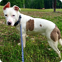 Catahoula Leopard Dog/Shiba Inu Mix Dog for adoption in Goodlettsville, Tennessee - Sophie
